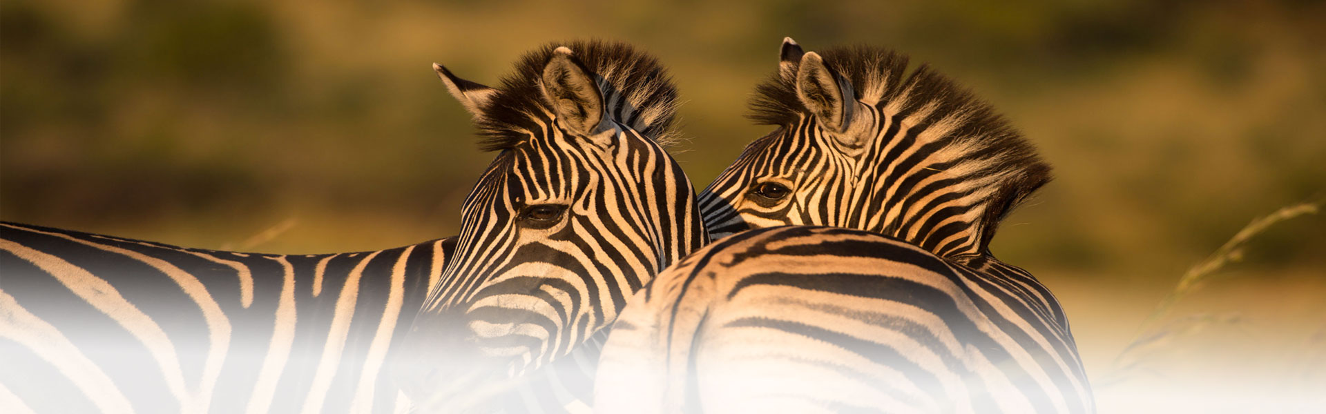 Two peaceful Zebras