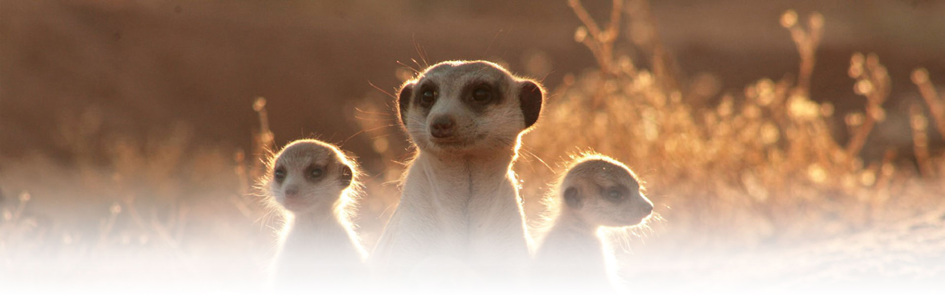 A group of curious and nosy meerkats