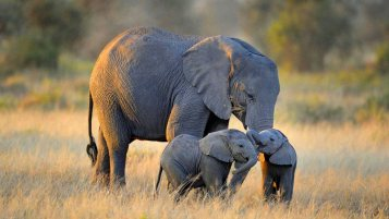menu picture of baby Elephants